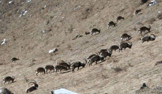 Название: afghanistan-mountain-goat.jpg Просмотров: 5562  Размер: 45.5 Кб