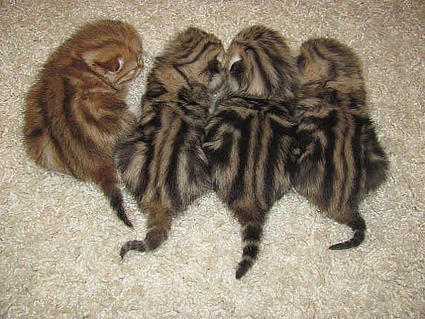 Нажмите на изображение для увеличения.  Название:Колорадские коты.jpeg Просмотров:936 Размер:69.4 Кб ID:105159