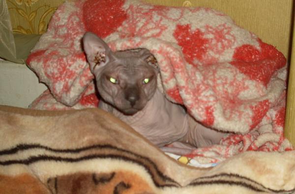 Нажмите на изображение для увеличения.  Название:сонный кот.jpg Просмотров:98 Размер:542.7 Кб ID:113629
