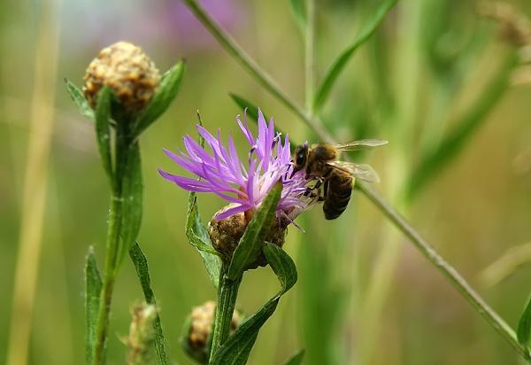 Нажмите на изображение для увеличения.  Название:пчелка.jpg Просмотров:67 Размер:313.3 Кб ID:120477