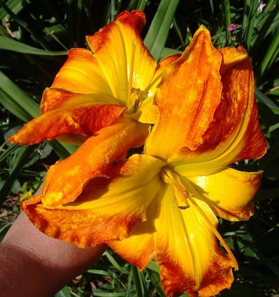 Нажмите на изображение для увеличения.  Название:Hemerocallis Carrick Wildon1.JPG Просмотров:87 Размер:306.8 Кб ID:142836