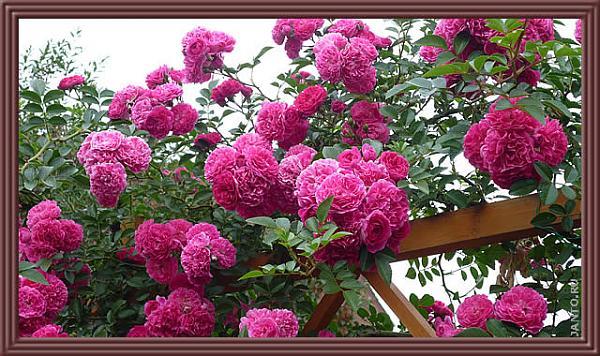 Нажмите на изображение для увеличения.  Название:climbing_rose.jpg Просмотров:102 Размер:87.6 Кб ID:144075