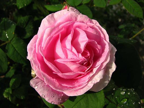 Нажмите на изображение для увеличения.  Название:роза 1.jpg Просмотров:81 Размер:124.2 Кб ID:147071