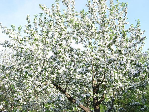 Нажмите на изображение для увеличения.  Название:Цветущий сад1 002.jpg Просмотров:39 Размер:1.53 Мб ID:164275