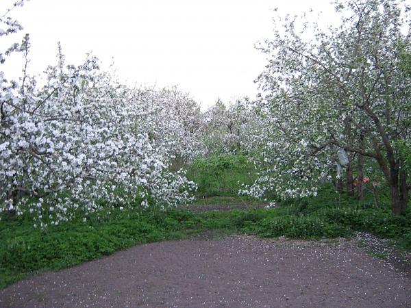 Нажмите на изображение для увеличения.  Название:цветущий сад3.jpg Просмотров:37 Размер:2.77 Мб ID:164277