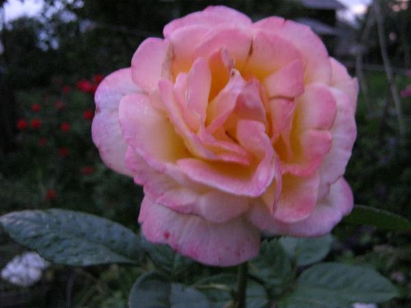 Нажмите на изображение для увеличения.  Название:розы 9авг 001.jpg Просмотров:23 Размер:2.10 Мб ID:166635