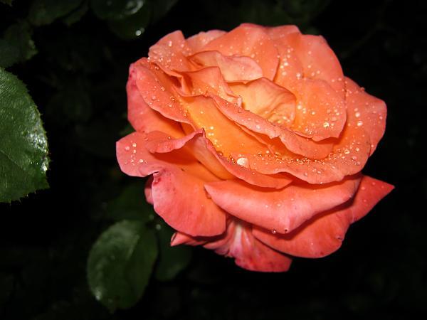 Нажмите на изображение для увеличения.  Название:розы 9авг 002.jpg Просмотров:23 Размер:1.47 Мб ID:166642