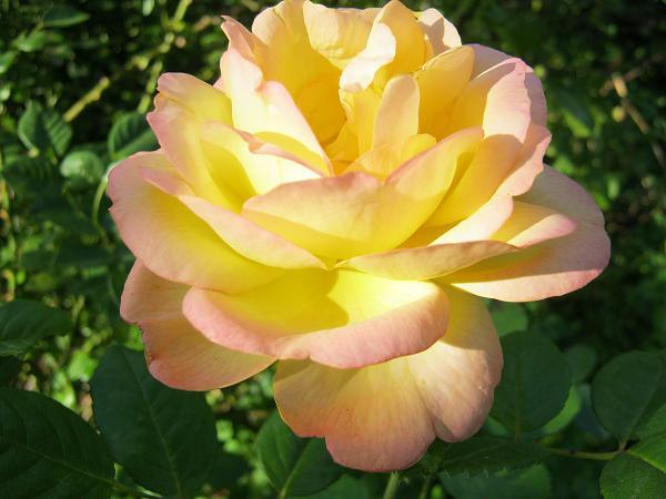 Нажмите на изображение для увеличения.  Название:розы 9авг 003.jpg Просмотров:23 Размер:1.59 Мб ID:166644