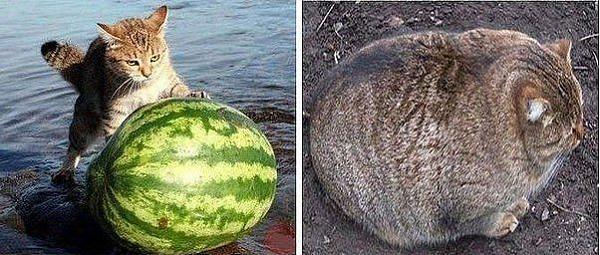 Нажмите на изображение для увеличения.  Название:кот с арбузом.JPG Просмотров:28 Размер:61.7 Кб ID:186821