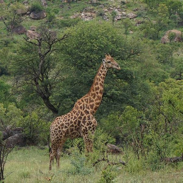 Нажмите на изображение для увеличения.  Название:Жираф.jpg Просмотров:1 Размер:109.1 Кб ID:203000