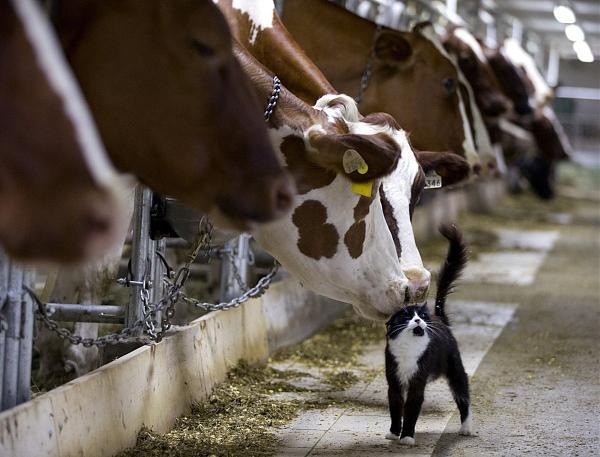 Нажмите на изображение для увеличения.  Название:коровы-коты.jpg Просмотров:12 Размер:136.1 Кб ID:213225