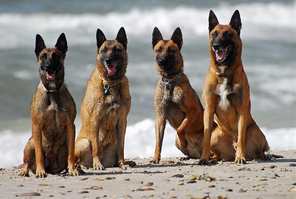 Нажмите на изображение для увеличения.  Название:4 собаки.jpg Просмотров:3 Размер:182.1 Кб ID:248983