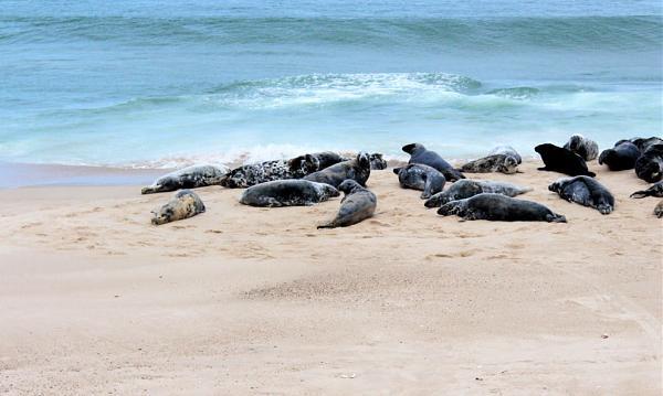 Нажмите на изображение для увеличения.  Название:Grey-Seals-on-Sable-Island-1030x656.jpg Просмотров:2 Размер:428.3 Кб ID:267966