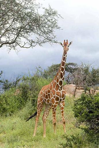 Название: жираф.jpg Просмотров: 565  Размер: 87.1 Кб