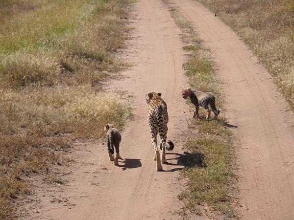 Нажмите на изображение для увеличения.  Название:Киска-гепард с котятами.jpg Просмотров:89 Размер:189.4 Кб ID:55046