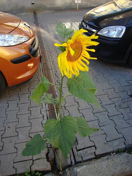 Нажмите на изображение для увеличения.  Название:Городские цветы 22-08-2011 DSC00884.JPG Просмотров:114 Размер:1.32 Мб ID:81573
